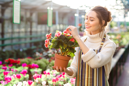 Charming happy young woman florist in striped apron taking care of blooming begonia in greenhouse