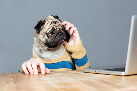 Amazed man with pug dog head talking on mobile phone and using laptop over grey background Stock Photo