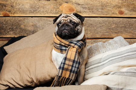 checkered scarf: Cute pug dog in checkered scarf sitting on pillows on wooden background