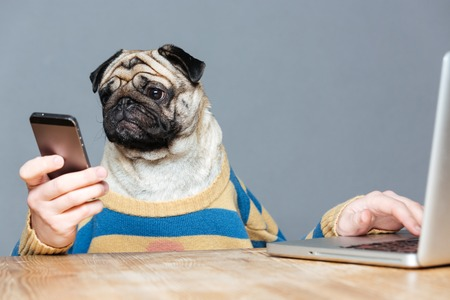Funny man with pug dog head in striped pullover using laptop and smartphone over grey background