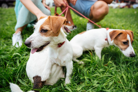 retractable: Close up portrait of three jack russels dogs on leash outdoors Stock Photo