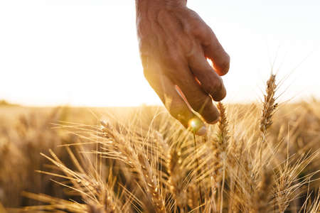Cropped image of man examining harvest at cereal field