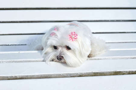 almost sharp photo. photo session of the Maltese lapdog in the park on a white bench.
