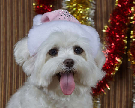 little dog in a Santa hat. Maltese lapdog photo shoot in Christmas decorations.