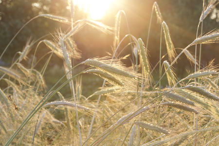 Cereal ears on the field. The backlight of the setting sun. Ripening grain harvest.
