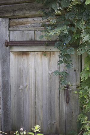 fastened: Door in old abandoned wooden barn. Boards, fastened with iron wrought-iron hinges. Overgrown with ivy.