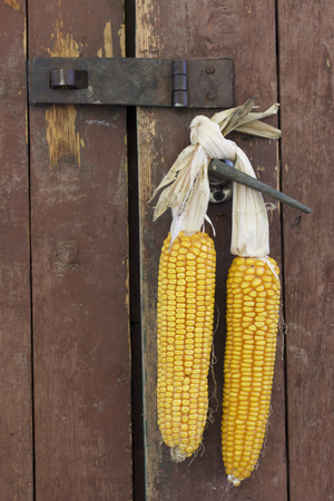 drying corn cobs: Cobs of corn drying in the open air. Connected with each other glumes. Hang on the door handle in an old wooden barn with peeling off paint. Crops harvested from the infield. Yellow tasty grain. Stock Photo
