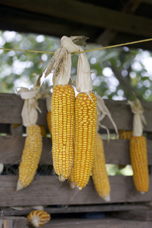 drying corn cobs: Cobs of corn drying in the open air. Connected with each other glumes. Hang on a wooden box and a tight rope. Crops harvested from the infield. Yellow tasty grain. Stock Photo