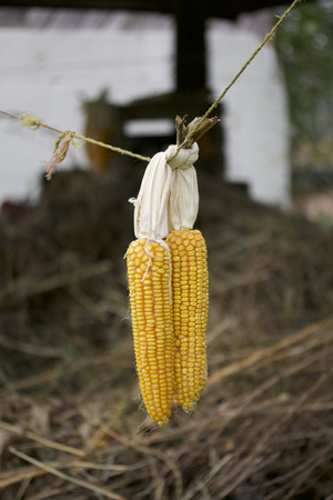 drying corn cobs: Cobs of corn drying in the open air. Connected with each other glumes. Hang on tight rope. Crops harvested from the infield. Yellow tasty grain.