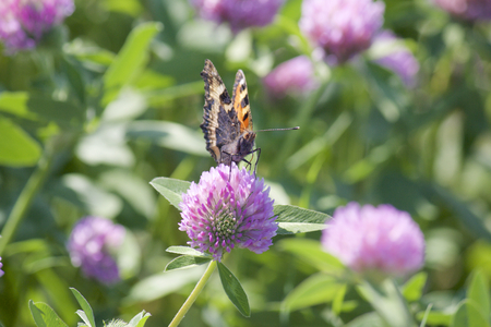 The butterfly collects nectar from the clover in the meadow. Flowers and grass sway in the warm summer wind.