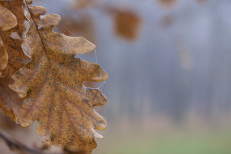 Autumn beauty. Colorful and withered oak leaves, dew drops and cobwebs.