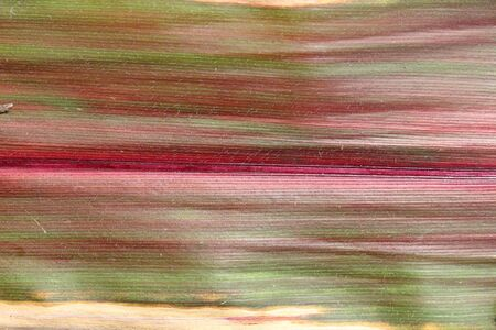 Background from an autumn leaf of corn. Veins of different shades are visible: red, yellow, green and others Stock fotó