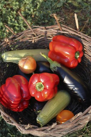 Ripe sweet peppers, zucchini, cucumber, tomato and onions from the infield. Lying in a wicker basket, bathed in sunlight.