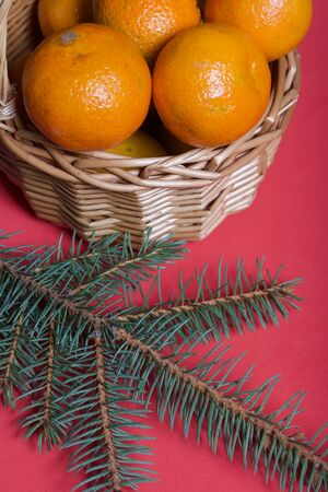 Tangerines in a wicker basket. Branches of green spruce. Against the background of coral color.