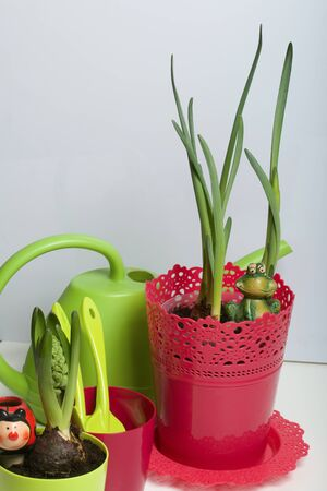 Hyacinth and daffodil in a plastic pot. Preparing for flowering. Next to them are tools for transplanting and caring for plants.