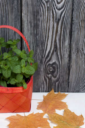 Mint grows in a wicker basket. Against the background of brushed pine boards painted in black and white. Nearby are dried maple leaves.
