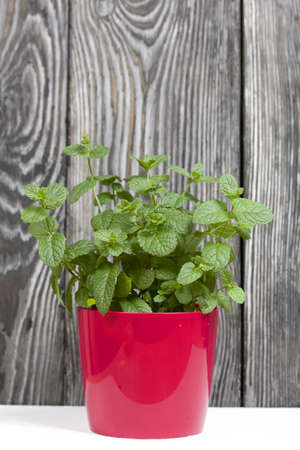 Mint grows in a pot. Against the background of brushed pine boards painted in black and white. 写真素材