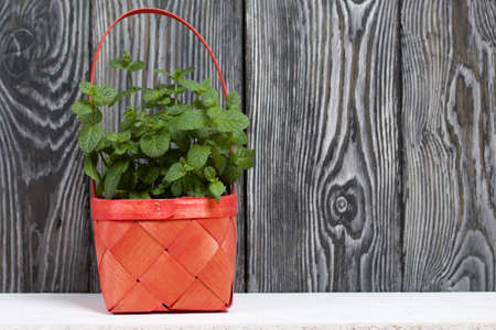 Mint grows in a wicker basket. Against the background of brushed pine boards painted in black and white.