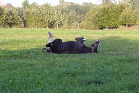 The horse lies in the meadow. Turns over from side to side.