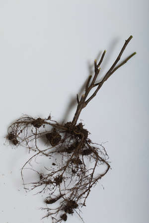 A dried plant with a root system. Filmed on a white surface. Reklamní fotografie
