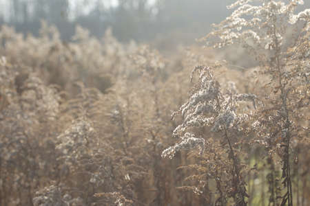 Tall dried grass in an autumn park. Backlit.