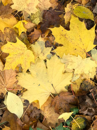 Woman legs in white autumnal shoes. Standing on a carpet of yellow autumn leaves. Filmed from above.