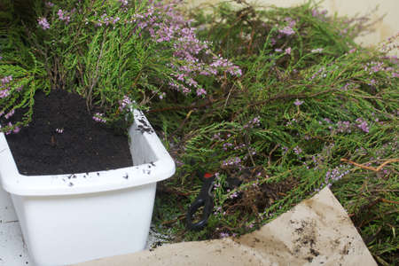 A large bunch of heather in a bucket before potting. Close-up shot.