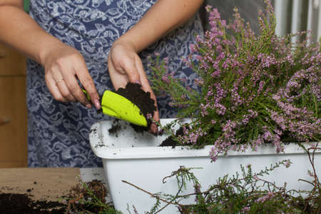 A woman transplants forest heather into a pot. Adds soil to the roots of the plant. Goes through the branches of the plant.
