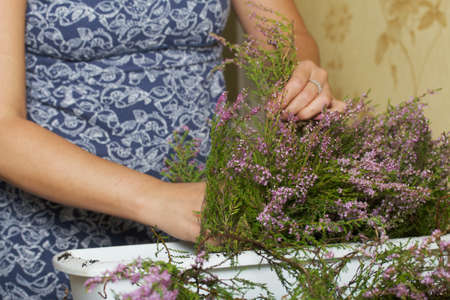A woman transplants forest heather into a pot. Places the branches of the plant in a pot. Close-up shot.