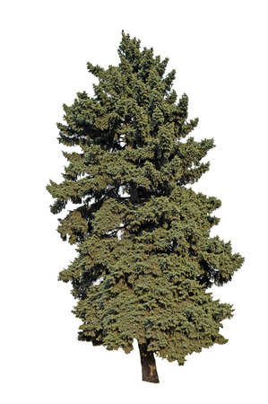 Conifer tree on a white background.