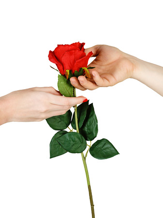 Human male and female hands holding a red rose isolated on white background closeup shot photo
