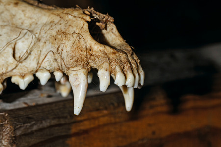 canine: Canine skull close up. Background for Halloween. The teeth of the upper jaw of the dog.
