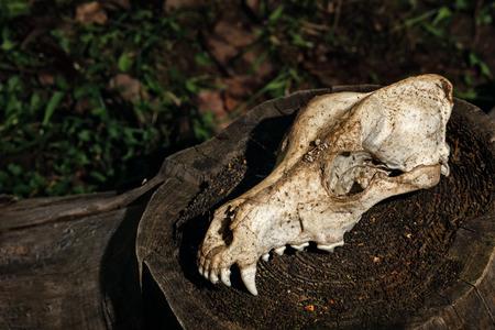 anatomical model: Canine skull close up. Background for Halloween. Anatomical model of the skull of a dog. Stock Photo