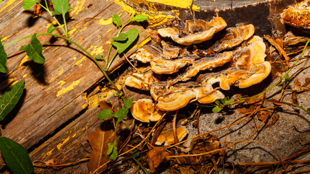 outgrowth: Mushrooms growing on a tree trunk in the forest, close-up shot. Wild nature. Stock Photo