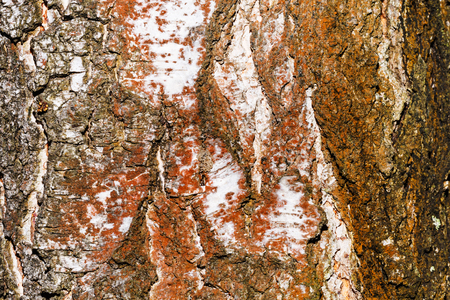 untreated: Poplar bark background. Untreated wood. Grungy texture. Stock Photo