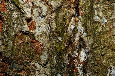 untreated: Poplar bark background. Untreated wood. Grungy texture. Stock Photo