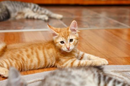 kuril: Kuril Bobtail cat ginger.