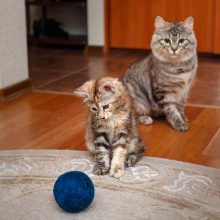 kuril: Kuril Bobtail cats playing with a ball of yarn. Stock Photo