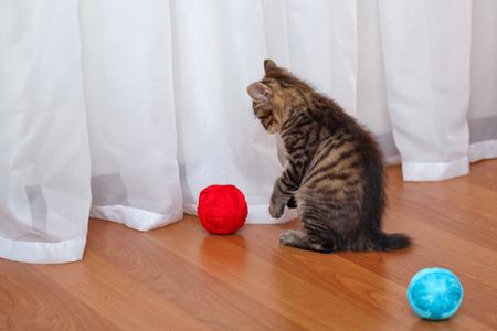 kuril: Kuril Bobtail cat playing with a ball of yarn.