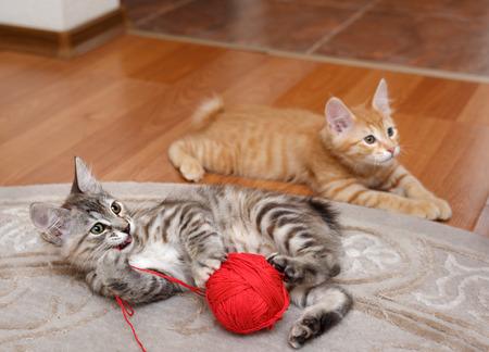 kuril: Kuril Bobtail cat plays with a ball of yarn.
