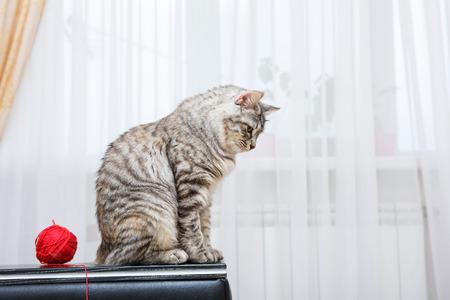 kuril: Kuril Bobtail cat with Ball of yarn.