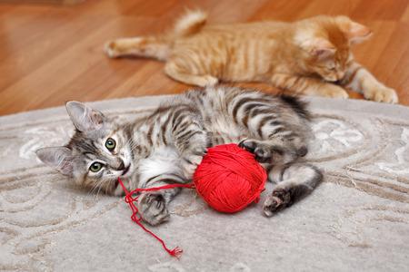 gato Bobtail de Kuril jugando con un ovillo de lana.