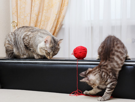 kuril: Kuril Bobtail cats. Mama cat watching kitten. Ball of yarn. Thoroughbred cat. Cute and funny kitten. Pet.