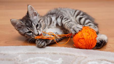 kuril: Kuril Bobtail cat plays with a ball of gray thread.