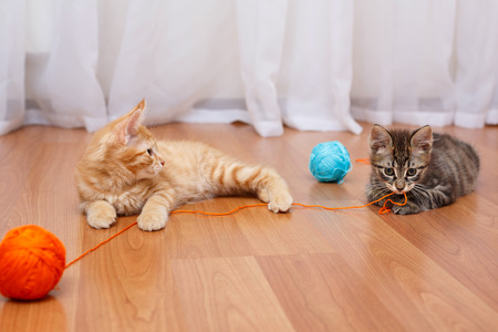 kuril: Kuril Bobtail kittens with thread. Stock Photo