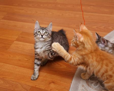 kurilian bobtail: Kuril Bobtail kittens play. Stock Photo