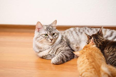 kuril: Kuril Bobtail cat feeding kittens.