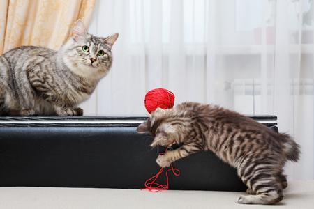 kuril: Kuril Bobtail catswith a Ball of yarn. Stock Photo