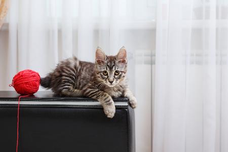 kuril: Kuril Bobtail kitten with a Ball of yarn.