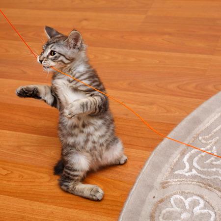 kuril: Kuril Bobtail kitten stands on its hind legs.